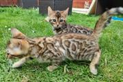 sweet Leopard Bengal Kittens ❤ en Los Angeles County