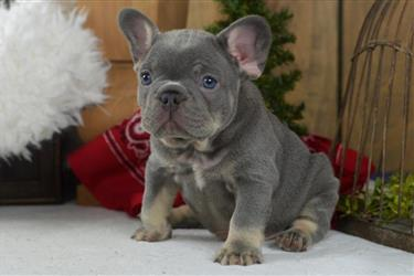 French bulldog puppies up for en New York