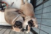 Cute PUG PUPPIES FOR REHOMING thumbnail