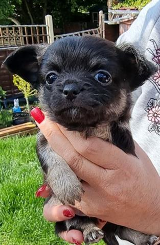 $800 : Longhaired Chihuahua Babies. image 2