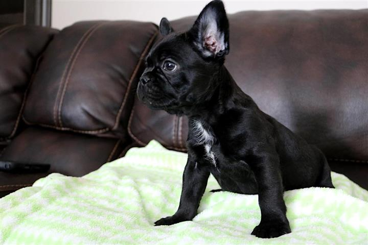 BLUE EYES FRENCH BULLDOGS PUPS image 3