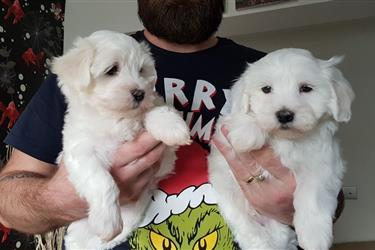 Adorable Maltese Puppies en San Antonio