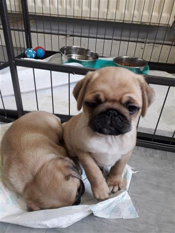 Cute PUG PUPPIES FOR REHOMING image 1