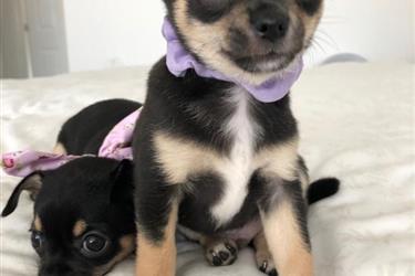 Cute Chihuahua Puppies en Washington DC