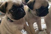 AMAZING PUG PUPPIES FOR SALE en Springfield