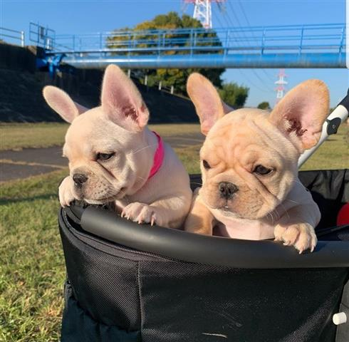 $500 : FRENCH BULLDOGS FOR SALE image 2