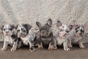 # tengo ~ cachorros frenchie en Los Angeles County