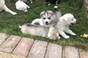 $650 : Husky puppies! thumbnail