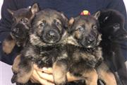 PEDIGREE GERMAN SHEPHERD PUPS Beautiful German sh