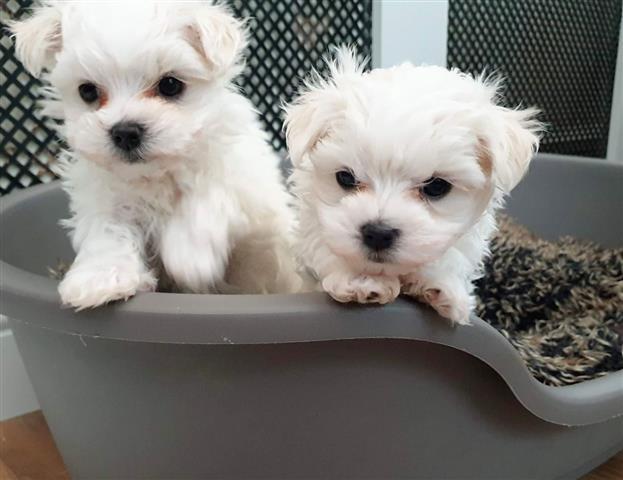 $500 : AKC Maltese Pups Now Ready image 1