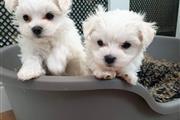 AKC Maltese Pups Now Ready