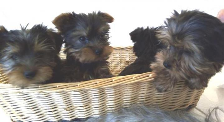 Cachorro yorkshire terrier hem image 1