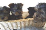 Cachorro yorkshire terrier hem