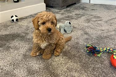 Toy poodle puppies For sale en Miami