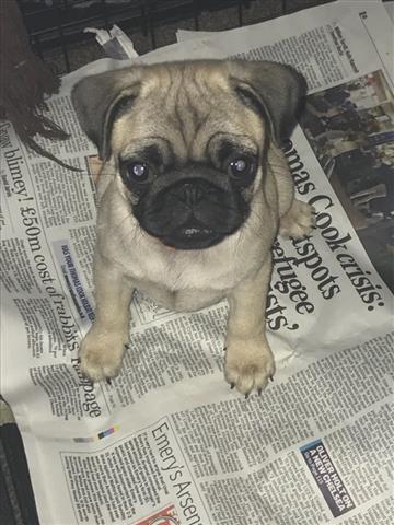 $550 : pug puppies image 1