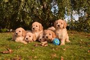 Family Cavapoos Puppies thumbnail