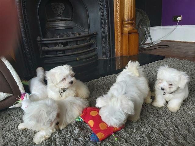 Beautiful Maltese Puppies image 1