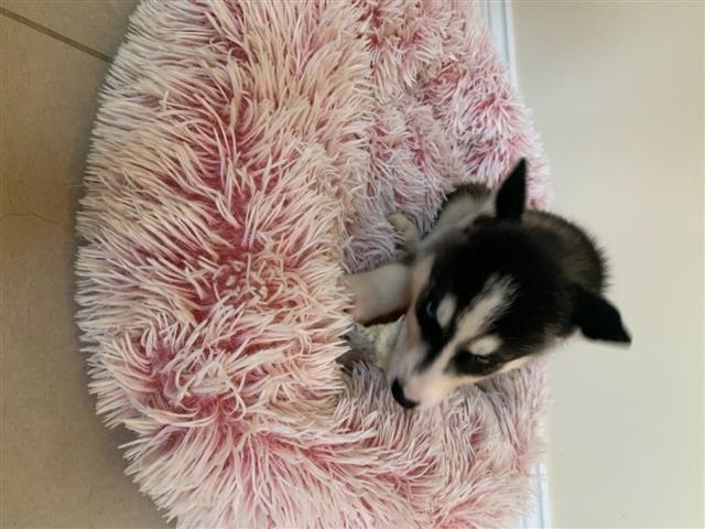 Siberian Husky for Sale image 3