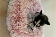 Siberian Husky for Sale thumbnail