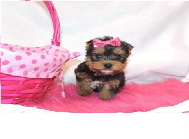 $200 : Small yorkie puppies image 1