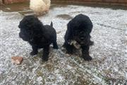 PUREBREED POODLE PUPS We are pleased to announce