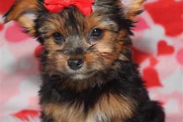 Encantadoras cachorros yorkie en Sacramento County