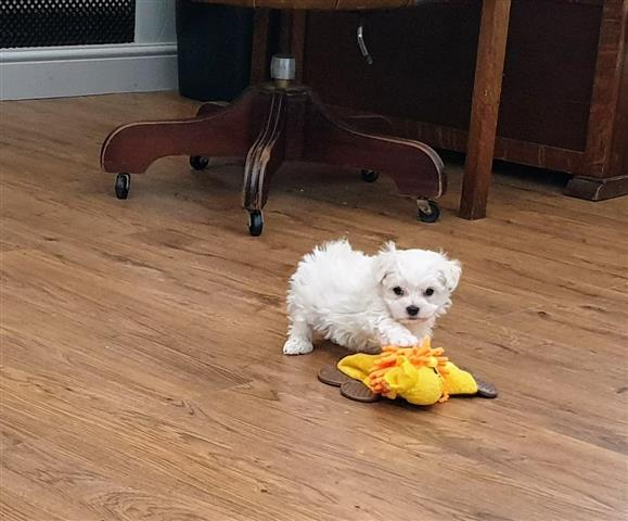 $500 : AKC Maltese Pups Now Ready image 3