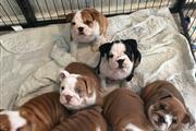 Increíbles cachorros de bulldo en Washington DC