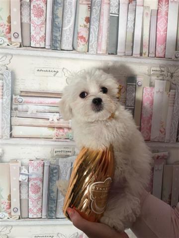 Beautiful Maltese puppies image 3