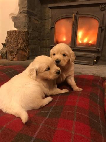 $400 : Cachorros Golden Retriever image 1