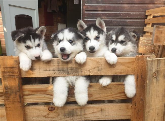 Husky puppies ready image 1
