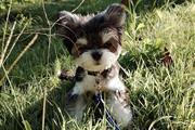 @@Dos hermosos cachorros Yorki